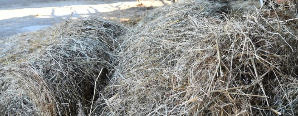 Contaminated hay was viewed as a likely cause of the positive tests ©Getty Images