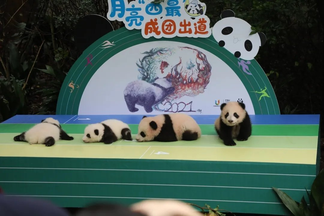 Chengdu 2021 help unveil seven panda cubs from local breeding centre