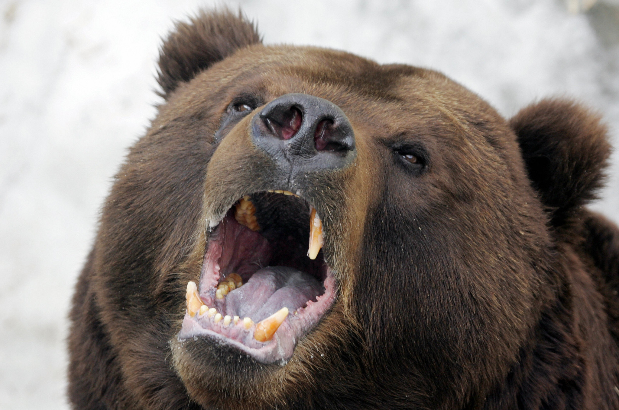 AIBA to support injured Medvedev after killing wild bear in Russia
